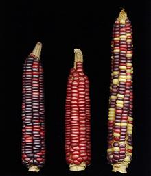 meskwaki, tama flint corn
