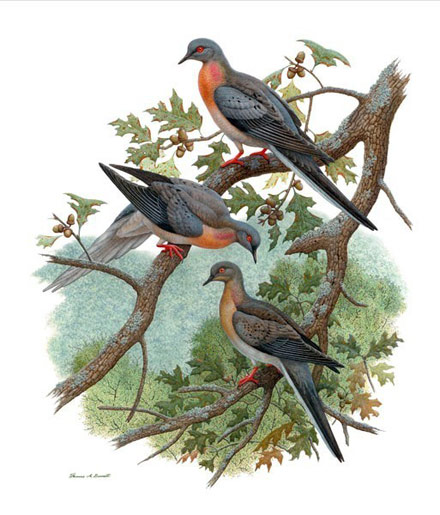 passenger pigeon, pigeon extinction